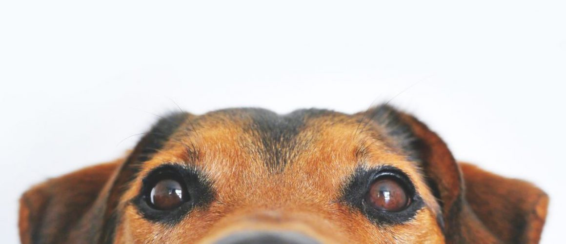 Big nose and top of head of a brown dog looking at a freeze dried treat.